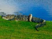 Cá sấu và trăn khổng lồ quyết chiến trên sân golf