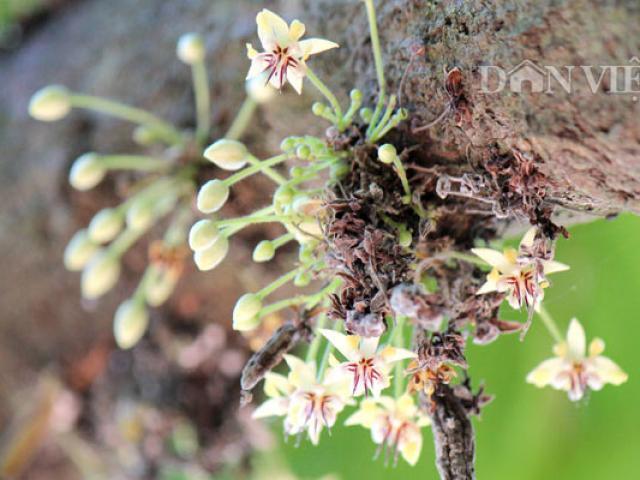 Ngỡ ngàng trước vườn cây tỷ đô có hoa nở khắp thân