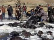 Hơn 100 bò Tây Tạng chết  bất đắc kỳ tử  vì giá rét ở TQ
