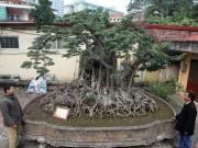 """Chiêm ngưỡng sanh cổ trồng chậu có bộ rễ  """" khủng """"  nhất Việt Nam"""