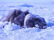Sóng thần băng  chôn vùi 52 con bò rừng Mỹ