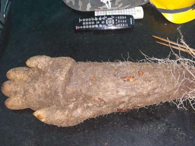Củ khoai giống hình bàn tay người trong mỏ đá ở Phú Yên