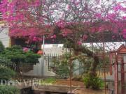 Cây hoa giấy cổ thụ dáng  lão mai  có một không hai ở Nam Định