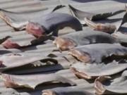 Nóng 24h qua: Xác minh vụ vây cá mập phơi trên mái nhà sứ quán Việt Nam ở Chile