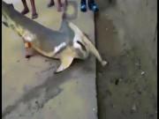 Philippines: Cá mập khổng lồ lên bờ, bị dân đánh đập đến chết