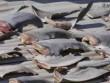 """Kiểm tra gấp vụ """"vây cá mập trên mái nhà sứ quán Việt Nam"""""""