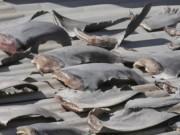 Bộ Ngoại giao trả lời về vụ phơi vây cá mập trên mái nhà ở Chile