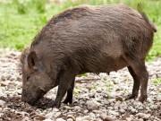 """Thị trường - Tiêu dùng - Bỏ ra nửa triệu thuê người lên bản mua thịt lợn mán, đại gia vẫn """"hốt' phải lợn nái sề"""