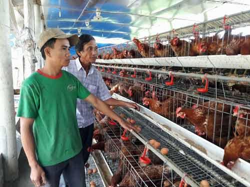 Nuôi 2.000 gà ấm trứng, 10 con bò, doanh thu 1,5 tỷ/năm - 1