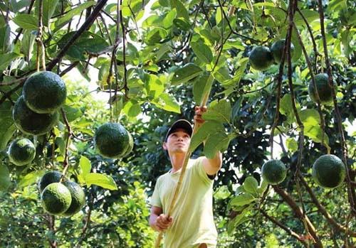 """Dân Trung Quốc """"mê"""" ăn quả bơ như điếu đổ, cây mua sẽ tăng mạnh - 1"""
