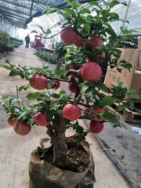 Cây táo hường xinh xẻo gia nhập trường đoản cú Trung Quốc giá như bạc triệu nhởi Tết và bí mật sau tán trái - 1