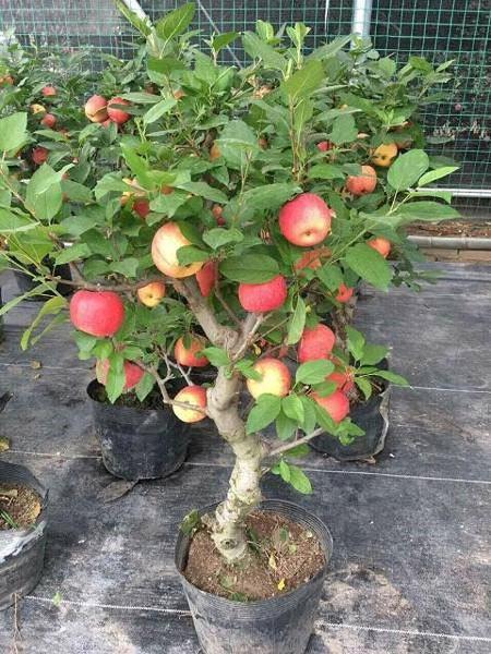 Cây táo hường xinh xẻo gia nhập trường đoản cú Trung Quốc giá như bạc triệu nhởi Tết và bí mật sau tán trái - 2