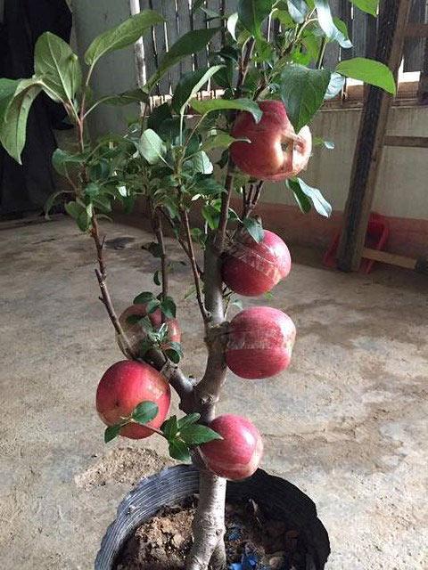 Cây táo hường xinh xẻo gia nhập trường đoản cú Trung Quốc giá như bạc triệu nhởi Tết và bí mật sau tán trái - 3