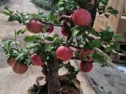 Thị trường - Tiêu dùng - Cây táo đỏ đẹp nhập từ Trung Quốc giá bạc triệu chơi Tết và bí mật sau tán quả