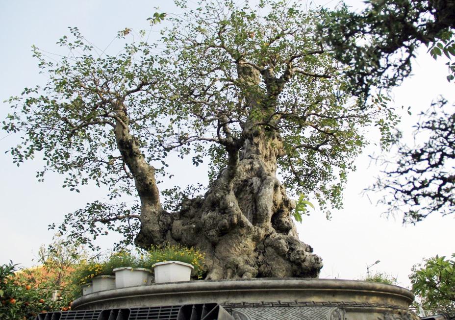 Ngắm cây 100 tuổi một gốc hai loài giá bạc tỷ của nghệ nhân ở Sài Gòn - 3