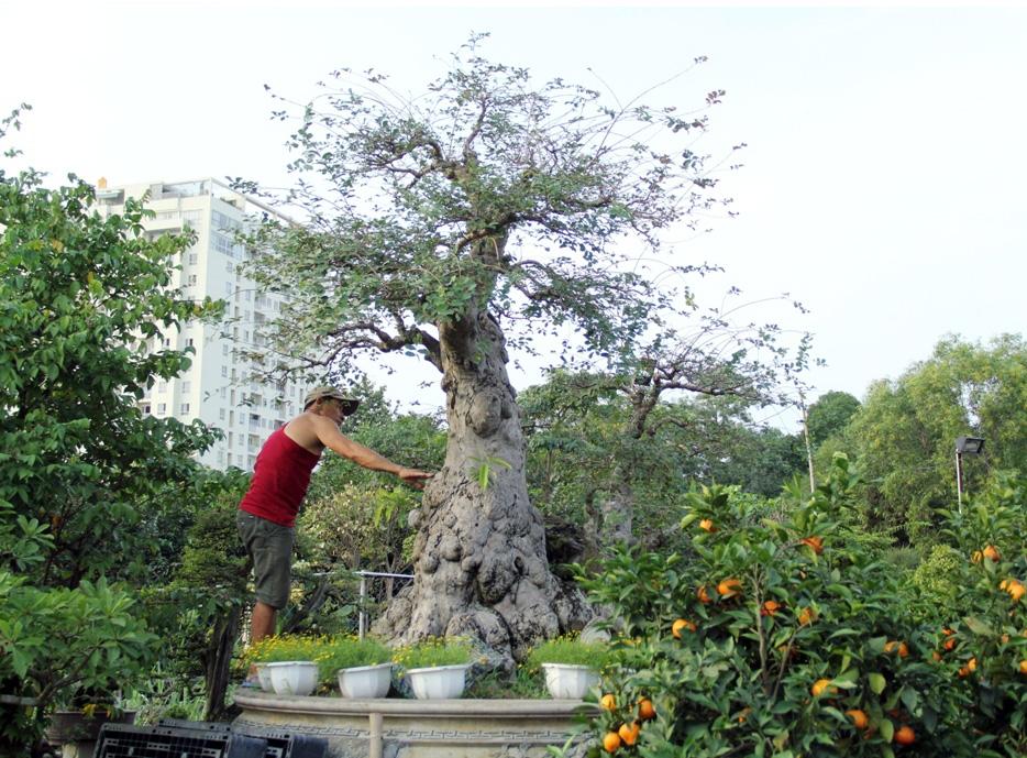 Ngắm cây 100 tuổi một gốc hai loài giá bạc tỷ của nghệ nhân ở Sài Gòn - 2