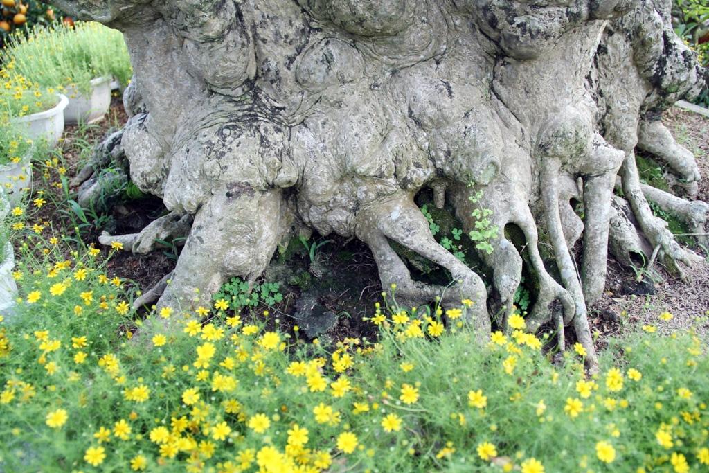 Ngắm cây 100 tuổi một gốc hai loài giá bạc tỷ của nghệ nhân ở Sài Gòn - 4