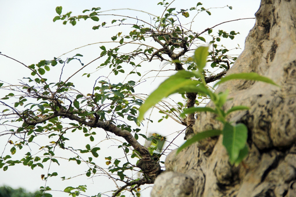 Ngắm cây 100 tuổi một gốc hai loài giá bạc tỷ của nghệ nhân ở Sài Gòn - 7