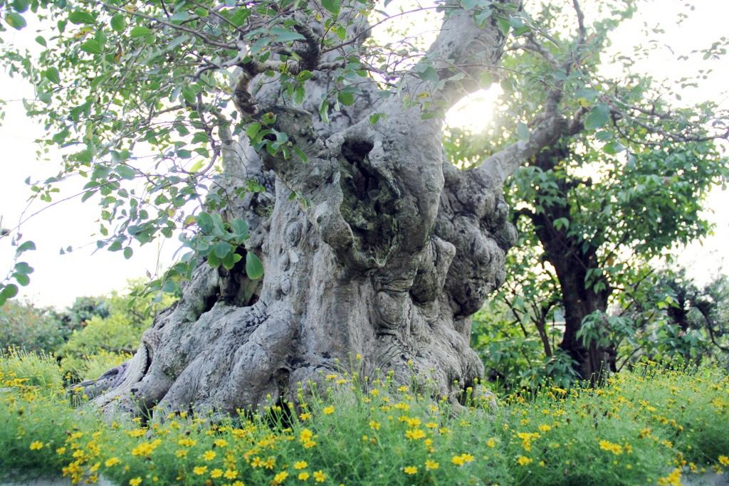Ngắm cây 100 tuổi một gốc hai loài giá bạc tỷ của nghệ nhân ở Sài Gòn - 5