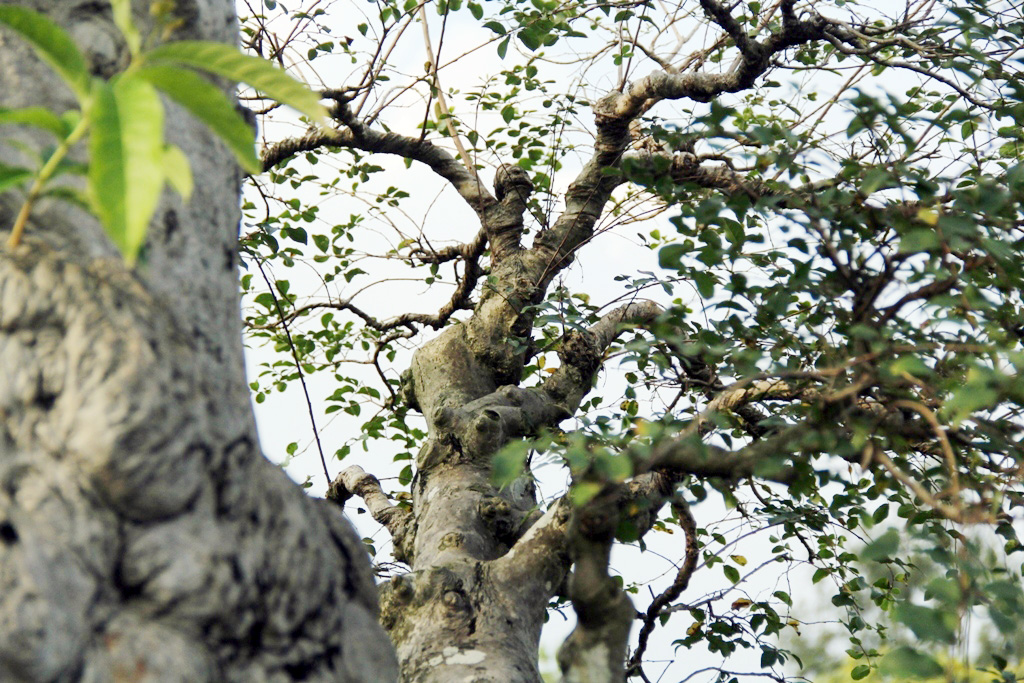Ngắm cây 100 tuổi một gốc hai loài giá bạc tỷ của nghệ nhân ở Sài Gòn - 9