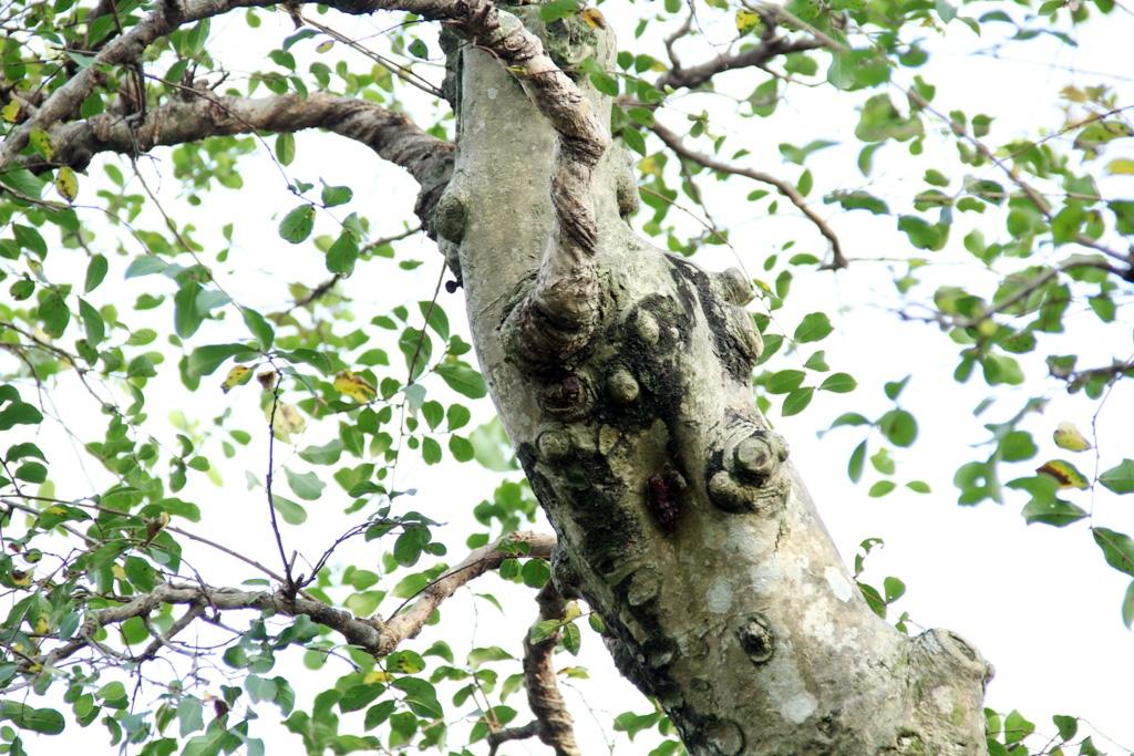 Ngắm cây 100 tuổi một gốc hai loài giá bạc tỷ của nghệ nhân ở Sài Gòn - 8