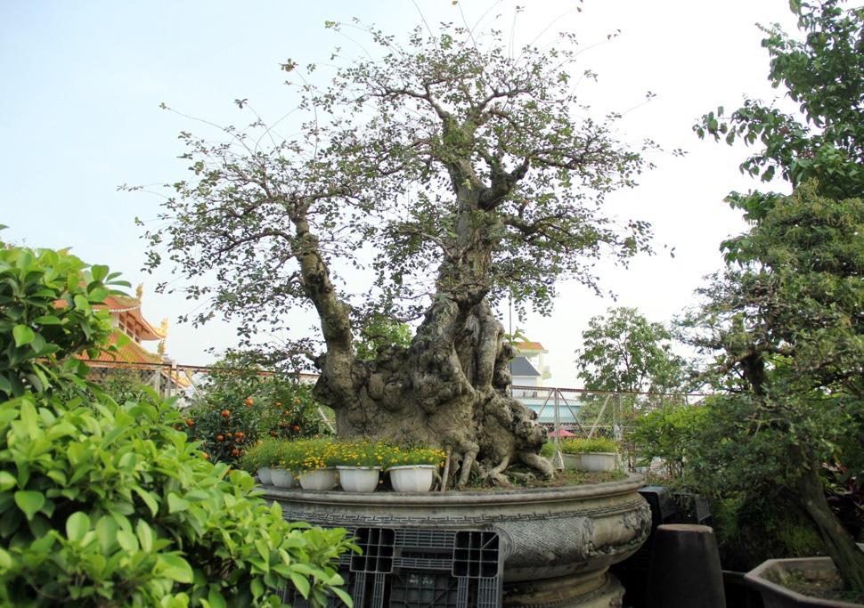 Ngắm cây 100 tuổi một gốc hai loài giá bạc tỷ của nghệ nhân ở Sài Gòn - 11