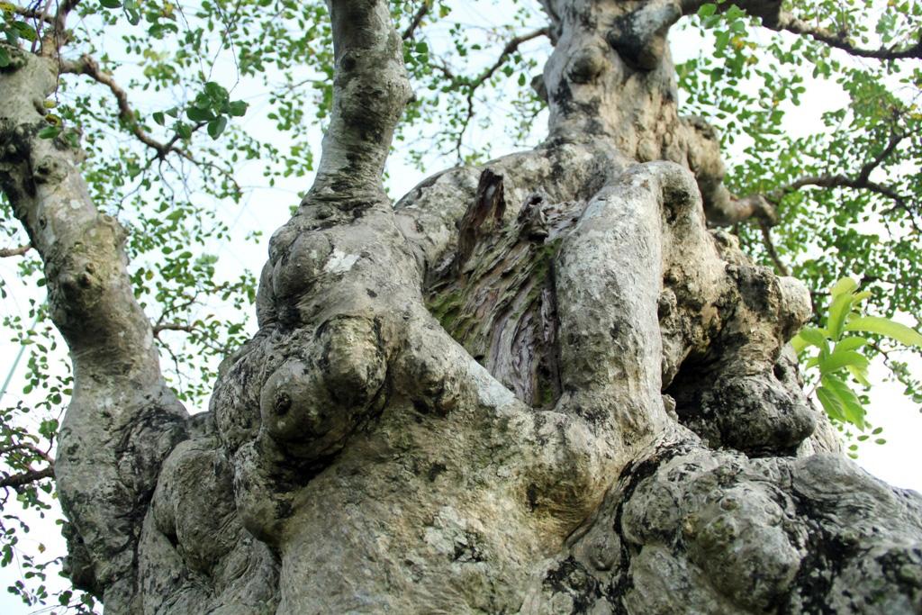 Ngắm cây 100 tuổi một gốc hai loài giá bạc tỷ của nghệ nhân ở Sài Gòn - 10
