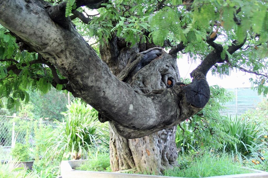 Ngắm cây 100 tuổi một gốc hai loài giá bạc tỷ của nghệ nhân ở Sài Gòn - 12