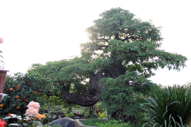 Ngắm cây 100 tuổi một gốc hai loài giá bạc tỷ của nghệ nhân ở Sài Gòn - 13