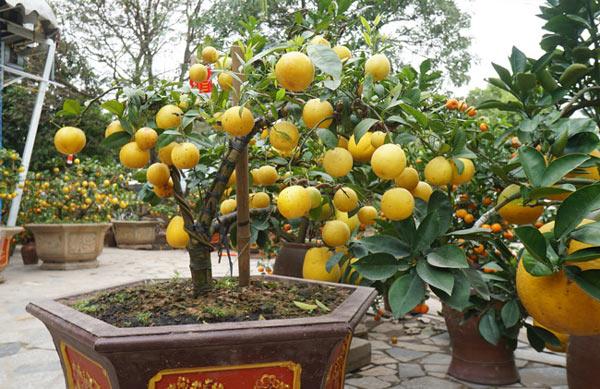 """Chanh vàng bonsai phú quý chừngc bằng cầm nào mà hoi """"sốt"""" ở Thủ đô? - 11"""