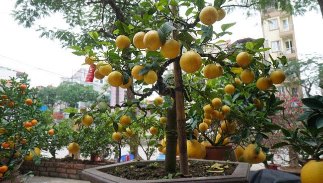 """Chanh vàng bonsai phú quý chừngc bằng cầm nào mà hoi """"sốt"""" ở Thủ đô? - 12"""