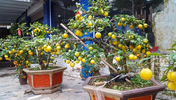 """Chanh vàng bonsai phú quý chừngc bằng cầm nào mà hoi """"sốt"""" ở Thủ đô? - 3"""