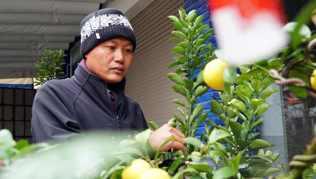 """Chanh vàng bonsai phú quý chừngc bằng cầm nào mà hoi """"sốt"""" ở Thủ đô? - 4"""