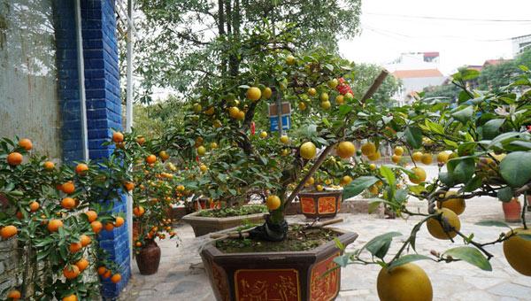 """Chanh vàng bonsai phú quý chừngc bằng cầm nào mà hoi """"sốt"""" ở Thủ đô? - 5"""