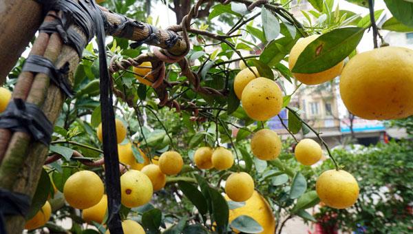 """Chanh vàng bonsai phú quý chừngc bằng cầm nào mà hoi """"sốt"""" ở Thủ đô? - 6"""