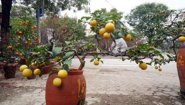 """Chanh vàng bonsai phú quý chừngc bằng cầm nào mà hoi """"sốt"""" ở Thủ đô? - 7"""