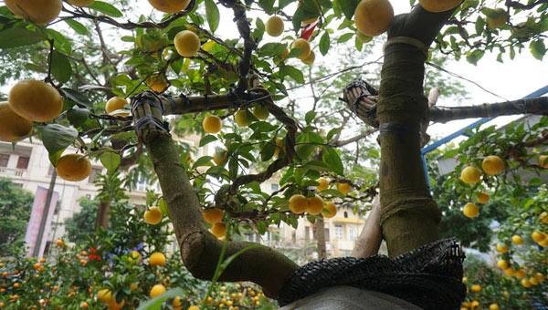 """Chanh vàng bonsai phú quý chừngc bằng cầm nào mà hoi """"sốt"""" ở Thủ đô? - 9"""