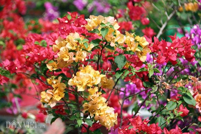 """Mãn nhãn ngắm vườn hoa giấy """"6 trong 1"""" chưng Tết trên đất Tây Đô - 1"""