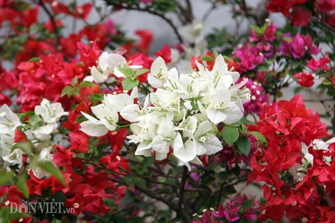 """Mãn nhãn ngắm vườn hoa giấy """"6 trong 1"""" chưng Tết trên đất Tây Đô - 5"""