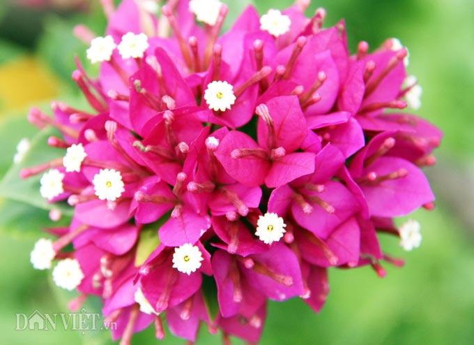 """Mãn nhãn ngắm vườn hoa giấy """"6 trong suốt 1"""" chưng Tết trên đất Tây Đô - 6"""