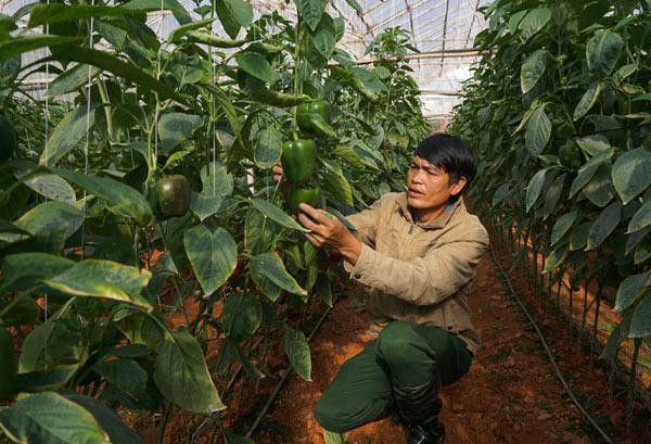 """""""Bí kíp"""" trồng trọt ớt ngọt ngào thu 2 triệu/ngày mực dân cày Đà Lạt - 1"""