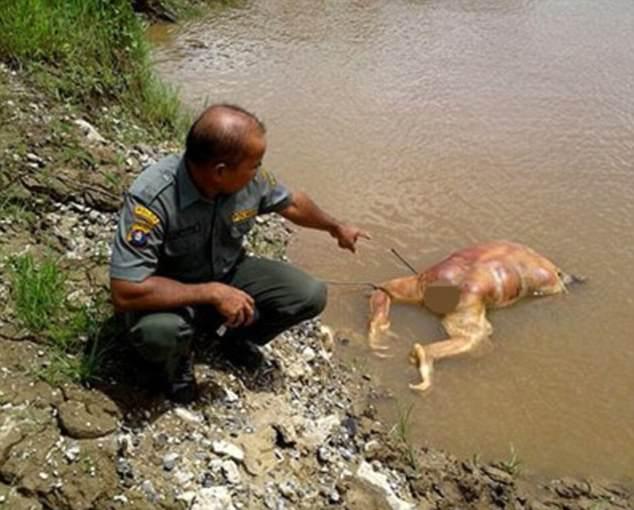 Indonesia: Đười ươi bị bắn 17 phát rồi chặt đầu - 1