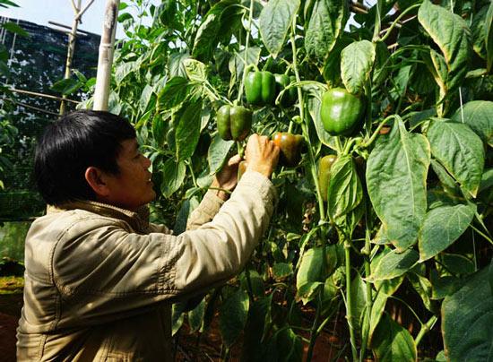 """""""Bí kíp"""" trồng trọt ớt ngọt ngào thu 2 triệu/ngày mực dân cày Đà Lạt - 2"""
