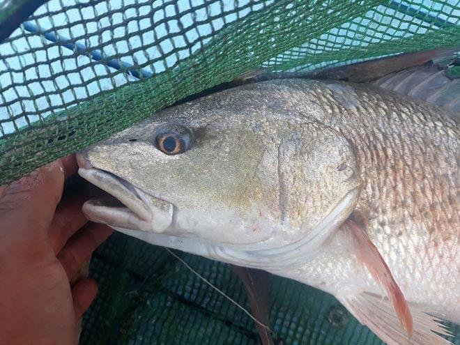 Một người dân ở Khánh Hòa câu được 6 con cá sủ vàng tiền tỷ - 2