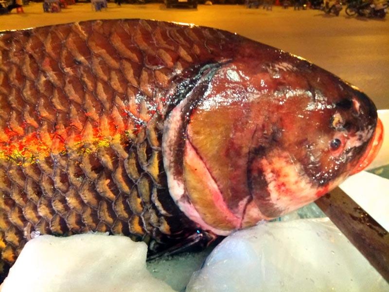 """Chi cả trăm triệu, """"rước"""" cá hô khủng từ Campuchia về Hà Nội ăn Tết - 3"""