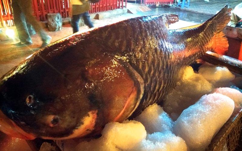 """Chi cả trăm triệu, """"rước"""" cá hô khủng từ Campuchia về Hà Nội ăn Tết - 4"""