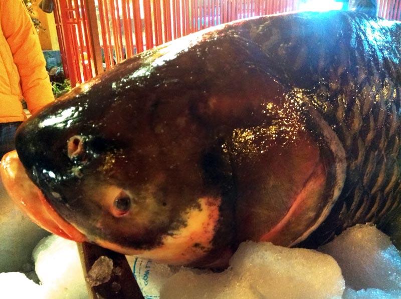 """Chi cả trăm triệu, """"rước"""" cá hô khủng từ Campuchia về Hà Nội ăn Tết - 6"""