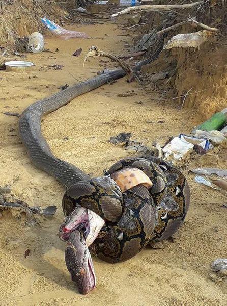 Hổ mang cực độc và trăn khổng lồ tử chiến - 1
