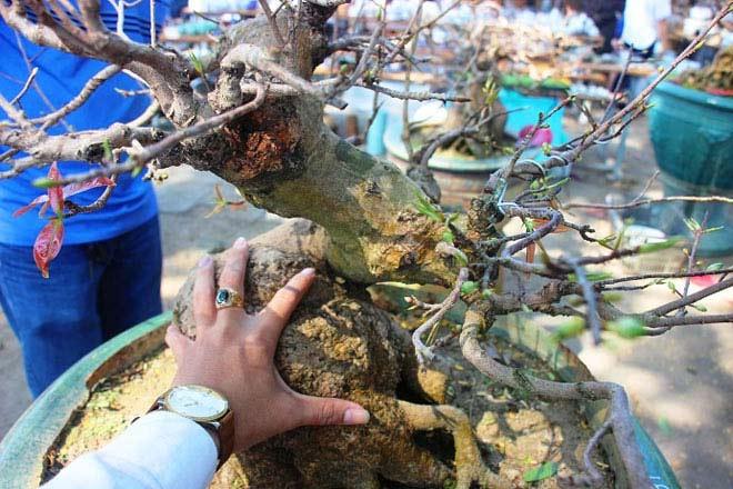 Mai bonsai cổ thụ giá bạc triệu ùn ùn xuống phố tìm đại gia dịp Tết - 8