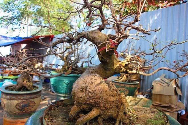 Mai bonsai cổ thụ giá bạc triệu ùn ùn xuống phố tìm đại gia dịp Tết - 4